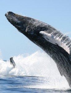 Язык синего кита весит до 4 тонн. — Быстрые кроссворды- Все ... | 300x230